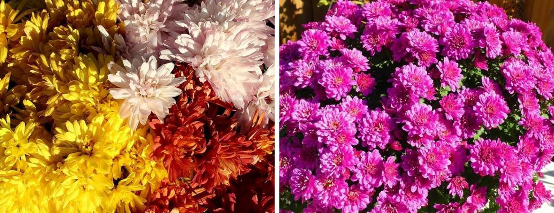 Chrysanten | Herfst boeketten | Pluk 'n Bloom