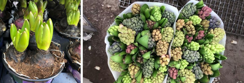 Hyacinten verkrijgbaar bij Pluk n Bloom